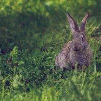 Кролик из Лукоморья, Новосибирская область, озеро Данилово :: Алина Репко