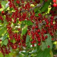 Красна ягода... :: Константин Жирнов