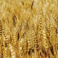 Пшеница :: Александр Чекмарев