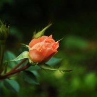 роза :: Ксения Батенева