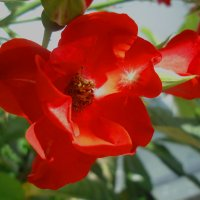 В красном цвете :: Ирина