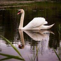 Одинокий лебедь. :: Екатерина Кузнецова