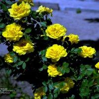 Жёлтые розы. :: Анатолий