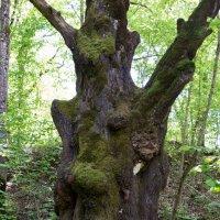 Старожил леса :: ZVlad ZVlad