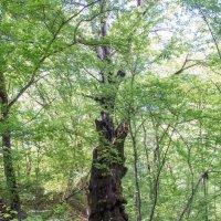Старожил леса (издали) :: ZVlad ZVlad