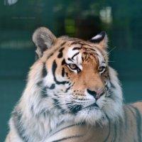 Тигр :: Татьяна Кретова