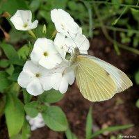 бабочка :: Marusiya БОНДАРЕНКО