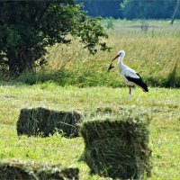 Аист в поле. :: Валерия Комова