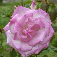 Нежность розы... :: Елена Васильева