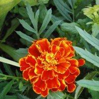 Яркое цветение :: Валентина Жукова