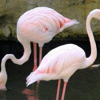 Фламинго :: Наталья