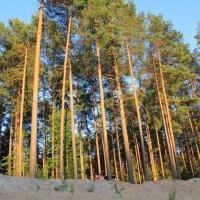 Сосновый лес :: Мария Гофман