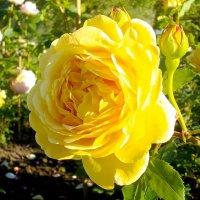 Роза прекрасная и нежная...! :: Лия ☼