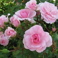 Розы с Якорной площади. :: ТАТЬЯНА (tatik)