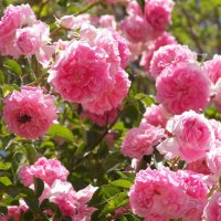 Розы :: Жанна Мааита