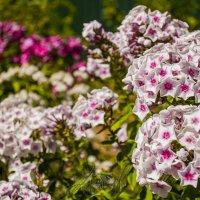 радуют , цветут и пахнут - мимо не пройти=) :: Александр Абакумов