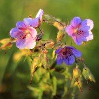Цветы :: Григорий Капустин
