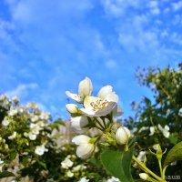 Волнительное цветение жасмина :: Лидия (naum.lidiya)