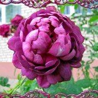 Роза :: veera (veerra)