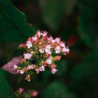 Цветок после дождя :: Виктория Альшанец