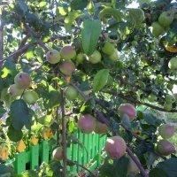 Яблочки монастырского сада :: BoxerMak Mak