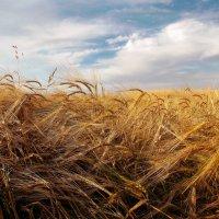 золотое поле :: лиана алексеева