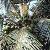 кокосы :: juriy luskin