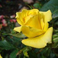Роза жёлтая :: laana laadas