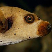 Рыба-пёс :: Akira Shiro