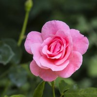 Розовая роза :: Николай Николенко
