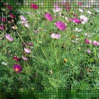 Космея - цветок из нашего далёкого детства :: Domna Kuznechic