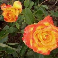 Розы :: Ирина