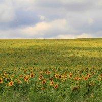 Солнечное поле :: Геннадий Валеев