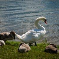 лебедь с лебедятами :: Andrei Naronski
