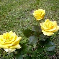 Роза чайно-гибридная :: ирина Пронина