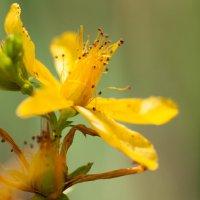 Желтый цветок :: Юрий Груздев