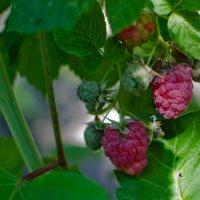Сладкая ягода :: Ирина Шарапова