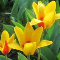 Самые первые тюльпаны... :: Тамара (st.tamara)