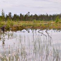 На болоте летом. :: Лариса Красноперова