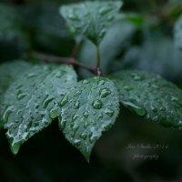 В настроении влажных листов... :: Ирина Котенева