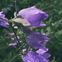 квітка після дощу. :: Христя Мельниченко