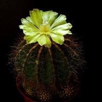 Notocactus magnificus или Пародия Магнефика :: Александр Запылёнов