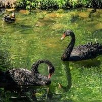Два черных лебедя :: GALINA