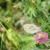 бабочка - боярышница :: Наталья Меркулова