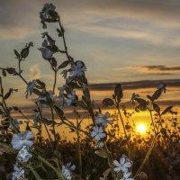 про полевые цветы и закат :: Алексей -