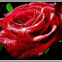 Просто роза :: Ирина Князева