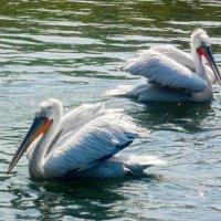 Красивые птицы :: Алёна Меженькова