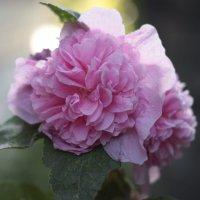 шток-роза :: Свет Какоткина