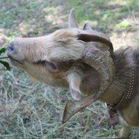 Назвала бы козой Дерезой, но это местный Борька..... :: Tatiana Markova