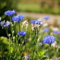 Синие цветы :: Андрей Кто